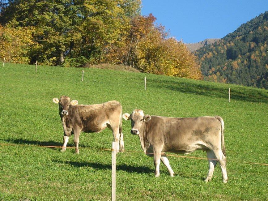 Mantingerhof-Villnoess-Kühe